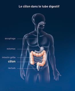Le colon dans le tube digestif