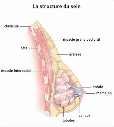 La structure du sein